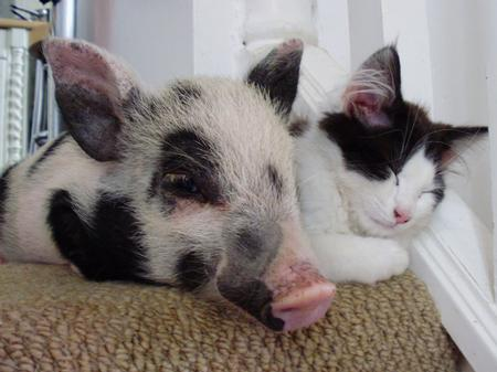 Little pig snoozes with the farm cat