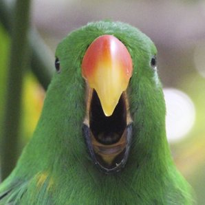 parrot screaming singing